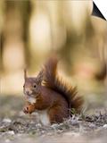 Red Squirrel  Sat on Ground in Leaf Litter  Lancashire  UK