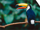 Toco Toucan in Tree  Igazu National Park  Brazil  Iguassu