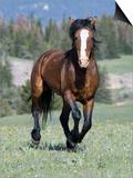 Wild Horse  Bay Stallion Cantering Portrait  Pryor Mountains  Montana  USA