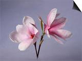 Two Japanese Magnolias  Magnolia Liliiflora