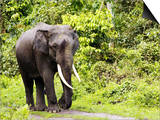 Asian Elephant  Male Walking on Track  Assam  India