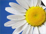 Marguerite / Ox Eye Daisy (Leucanthemum Vulgare) UK