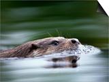 European River Otter Swimming  Otterpark Aqualutra  Leeuwarden  Netherlands