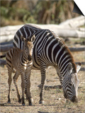 Zebra and Foal  Serengeti National Park  Tanzania