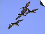 Four Brown Pelicans Flying in Formation  North of San Francisco
