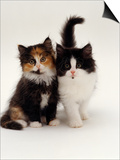 Domestic Cat  Tortoiseshell and Black-And-White Kittens