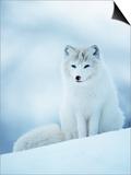 Arctic Fox Male Portrait  Norway
