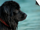 Black Newfoundland Dog Near Water