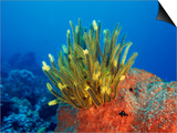Yellow Featherstars on Sponge  Indo-Pacific