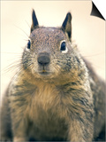 Beecheys Ground Squirrel  Close up Portrait  California  USA