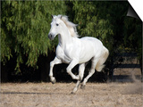 Grey Andalusian Stallion Cantering in Field  Ojai  California  USA