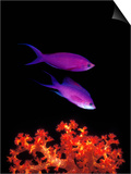 Purple Anthias (Pseudanthias Tuka) Swimming Underwater