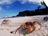 Coconut Crabs on Beach  Christmas Island
