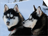 Siberian Husky Sled Dogs Pair in Snow  Northwest Territories  Canada March 2007