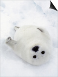 Harp Seal  Pup in Favorite Position on Its Back on Ice Pack  Nova Scotia  Canada