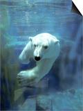 Polar Bear  Swimming Underwater  Quebec  Canada