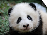 Giant Panda Baby  Aged 5 Months  Wolong Nature Reserve  China