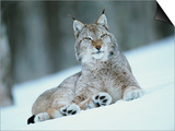 European Lynx in Snow  Norway