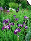 Iris Sibirica (Siberian Flag)  Beardless Siberian Iris  Flowers with Purple Petals and Dark Veining
