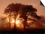 Scots Pine (Pinus Sylvestris) in Morning Mist  Glen Affric  Inverness-Shire  Scotland  UK  Europe