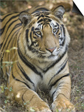 Bengal Tiger  Portrait of Male Tiger  Madhya Pradesh  India