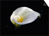 White Calla Lily  Zantedeschia Aethiopica