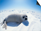 Harp Seal Pup on Ice  Magdalen Is  Canada  Atlantic