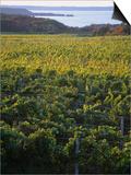 Vineyards Near Traverse City  Michigan  USA