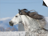 Grey Andalusian Stallion Head Profile While Cantering  Longmont  Colorado  USA