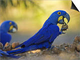Hyacinth Macaws  Parrots Eating Brazil Nuts  Brazil