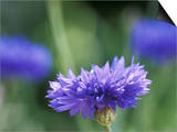 Centaurea Cyanus (Blue Cornflower)  Close-up