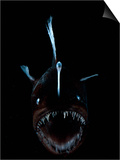 Deep Sea Anglerfish  Female with Lure Projecting from Head to Attract Prey  Atlantic Ocean