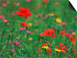 Wild Flowers  Including Poppy and Corncockle  Cultivated for Seed  Netherlands