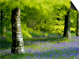 Beech and Bluebell Woodland at Lanhydrock  Cornwall  UK