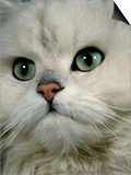 Domestic Cat  Chinchilla Persian Close up of Face