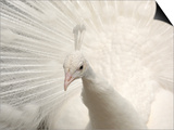 Albino India Blue Peafowl