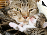 Domestic Cat  Tabby Mother and Her Sleeping 2-Week Kitten