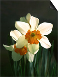 Two White and Orange Daffodils