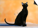 Oriental Shorthair Cat  Black Ebony