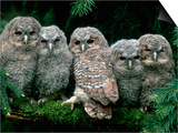 Five Young Tawny Owls  Germany