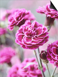 Dianthus Washington  Collection of Pink Flowers  Whetman Pinks Ltd National Collection