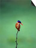 Malachite Kingfisher  Alcedo Cristata Galerita