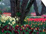 Tulips in Display Garden  Mt Vernon  Laconner  WA