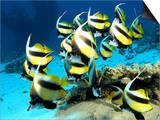 Banner Fish  St Johns Reef  Red Sea