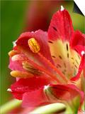 Alstromeria (Peruvian Lily  St Martin's Flower) Close-up