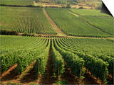Vineyards Near Lugny  Burgundy (Bourgogne)  France