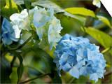 Hydrangea Macrophylla (Mophead Hydrangea)  Close-up of Blue Flowers