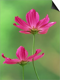 Cosmos Flowers  Cosmos Bipinnatus Skyward View