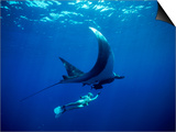 Diver Swims with Giant Manta Ray  Mexico