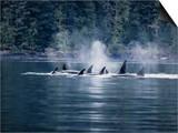 Killer Whale  Pod at Surface  BC  Canada